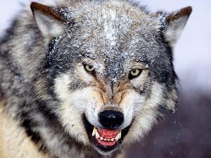 Где вы, волки?